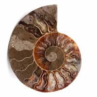 Sågad och polerad ammonitfossil