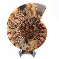 Ammonit skär en bit