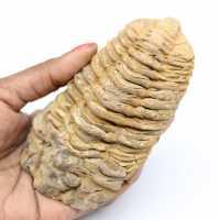 Fossil trilobit