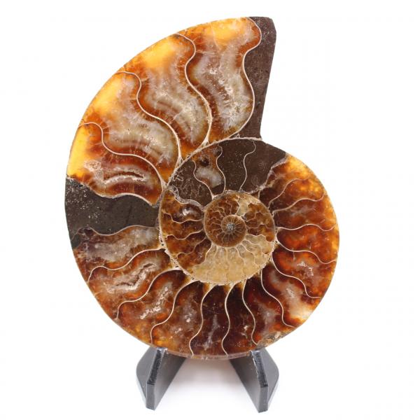 Polerad ammonitfossil