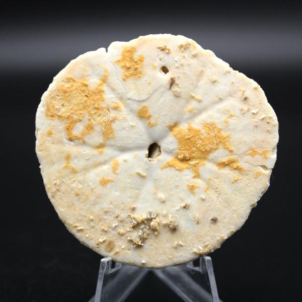 Scutella, fossil sjöborre